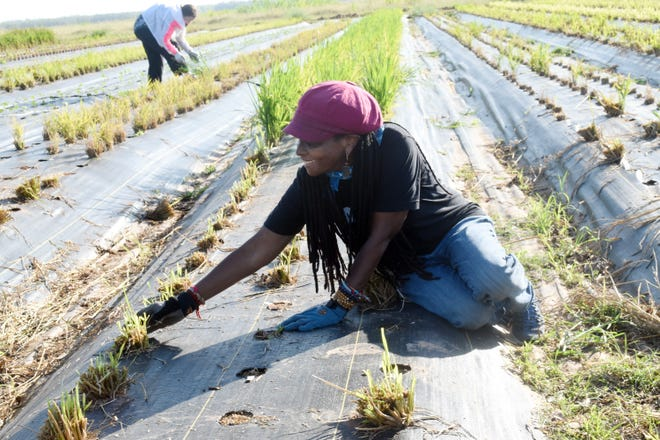 Konda Mason, owner of the non-profit Justice Jubilee, drove from California with her crew drove tobegan the experimental rice growing project at Inglewood Farms using the System of Rice Intensification (SRI) method.
