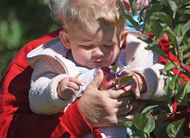 Eighteen-month-old Quinnley Sloane inspects an apple at Apple Hill Orchards on Friday morning.