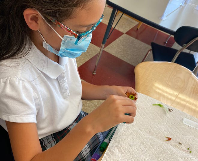 Mia MacBride, a fourth grade student at Immaculate Conception School, takes separates the delicate parts flower as part of a science activity from while wearing a mask at her desk, a measure taken to mitigate potential spread of COVID-19 in the classroom.