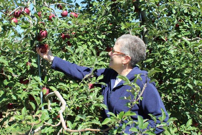 Rondie Neubeck, of Ashland, picks Jonathan apples at Scenic Ridge Fruit Farm Saturday afternoon. Neubeck typically uses Jonathan apples to make apple pie or apple crisp.
