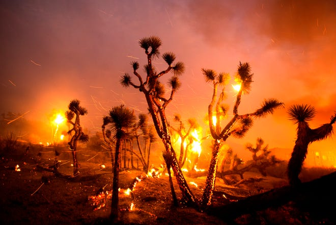 The wind whips embers from the Joshua trees burned by the Bobcat Fire in Juniper Hills, Friday, Sept. 18, 2020.
