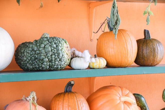 Pumpkins are pictured at La Union Maze and Pumpkin Patch in La Union on Saturday, Sept. 19, 2020.