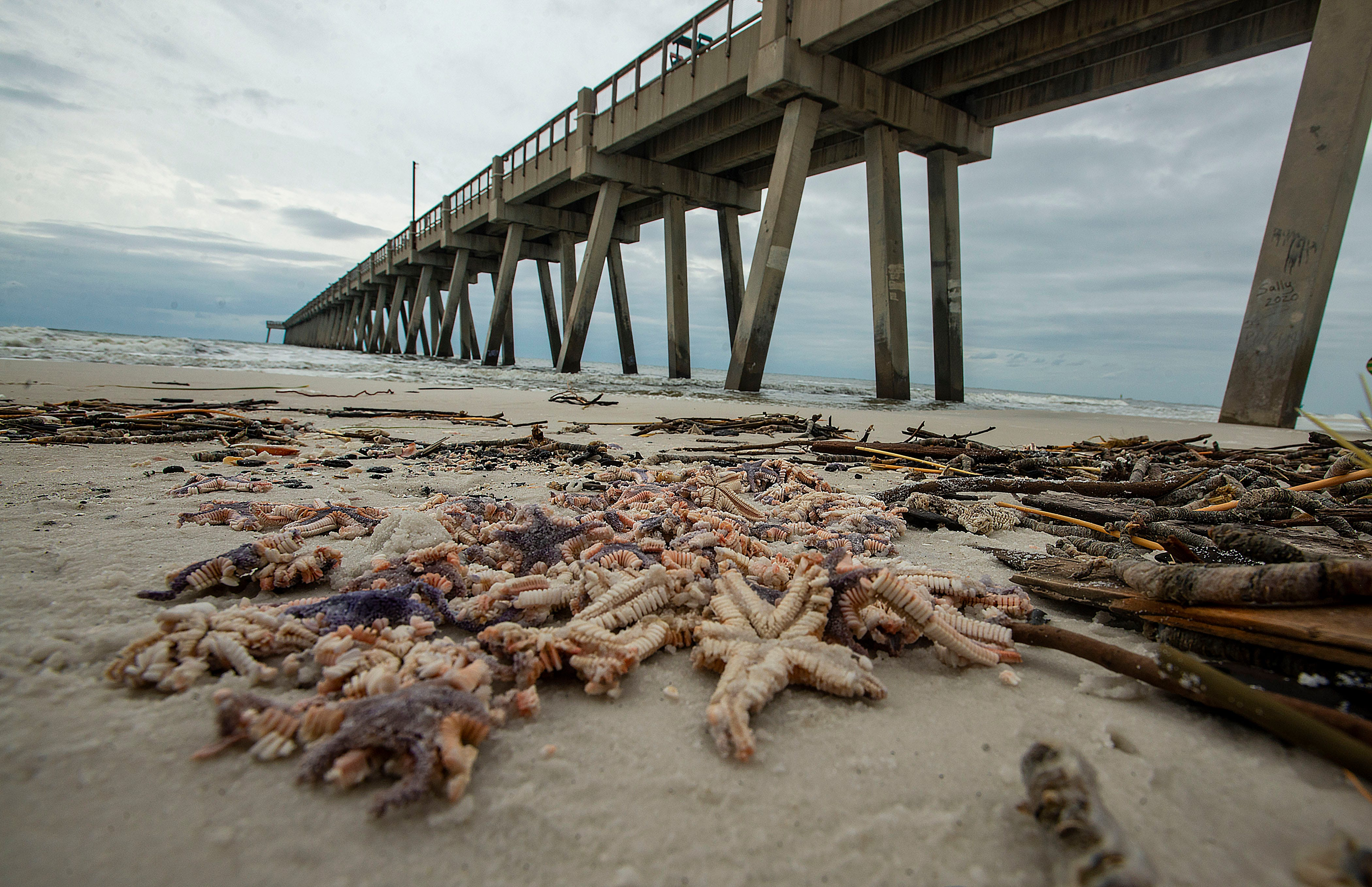Why thousands of starfish washed up on Florida s Navarre Beach after Hurricane Sally