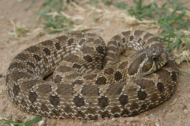 Plains Hog-nosed Snakes (Heterdon nasicus) primarily occur in the High Plains eco-region of the Panhandle where they can be quite abundant.