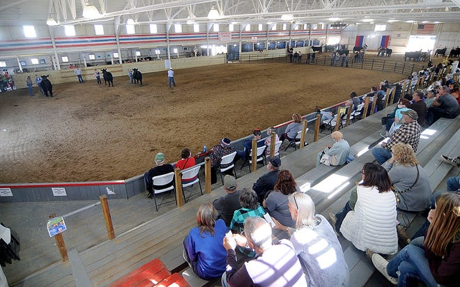 Contestants show their steer Sunday during the Junior Fair Baby Beef Show in the Coliseum, which would typically be more full in a normal year at the Ashland County Fair. COVID-19 restrictions has limited the number of spectators at this year's livestock shows. That will be the same Wednesday for the livestock auctions.