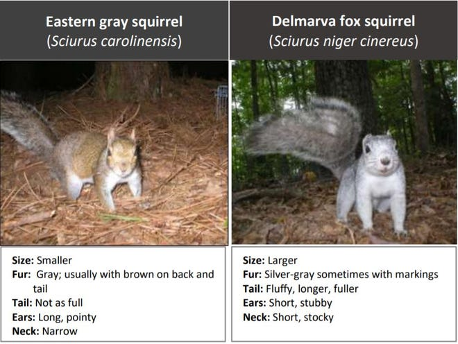 It's important for hunters to note the difference between eastern gray squirrels and Delmarva fox squirrels.