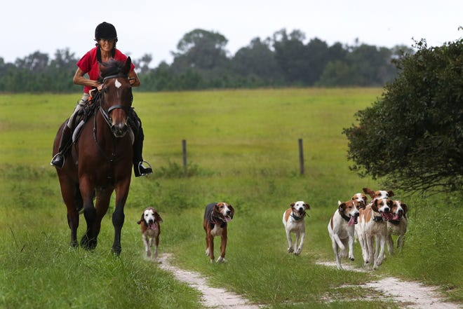 Alexis Macaulay, the hunt master for Misty Morning Hounds at Perry Plantation, leads a pack of hounds back to the kennel after a foxhunt training session in Gainesville on Sunday.