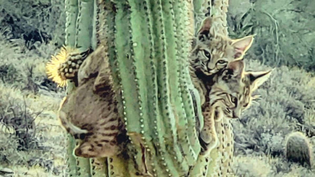 Arizona Native Sees Bobcats On Cactus In Apache Junction