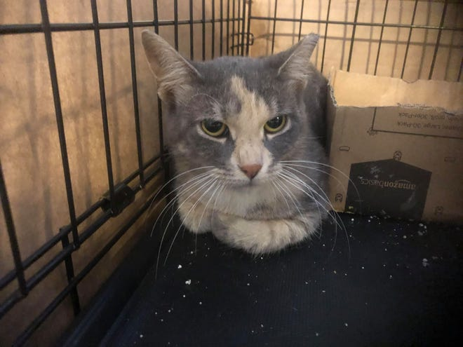 This cat is one of 10 rescued before a Montgomery County wildlife management company came in and removed an unknown number of feral cats on Quakertown's Public Works property. Rescue groups say they were told between 50 and 100 cats were in the colony.