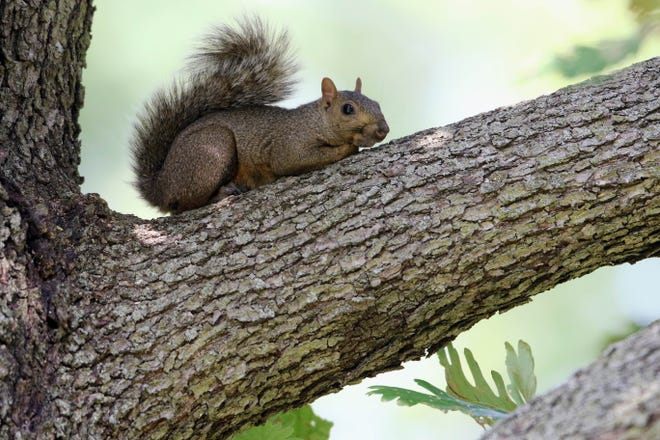 A squirrel hangs out in a tree sizing up nuts Monday in Crapo Park as cool nights remind wildlife of the changing seasons.