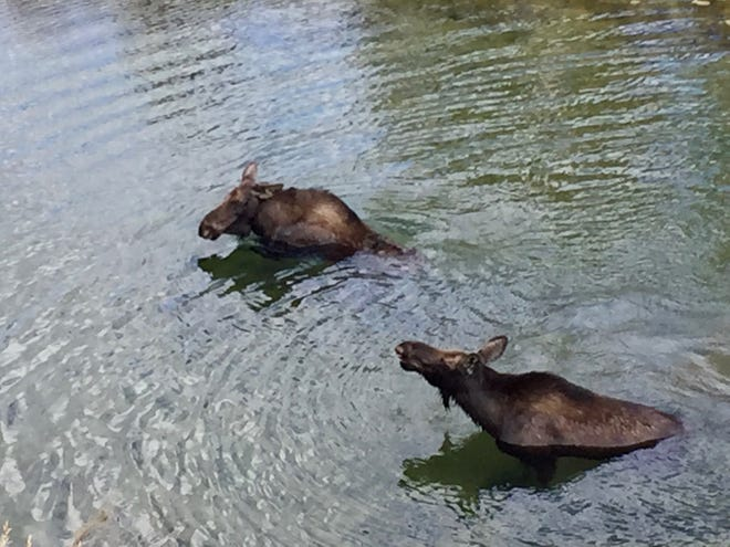 Two moose frolic in a pond just blocks from our Colorado hotel.