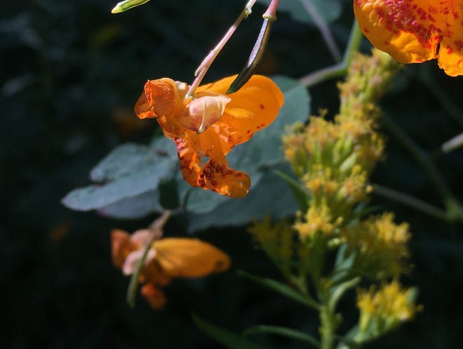 Jewelweed (Impatiens capensis) blooms in a Charlotte wetlands on Sept. 19, 2020.