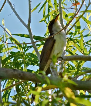 A western yellow-billed cuckoo perches itself on a branch.