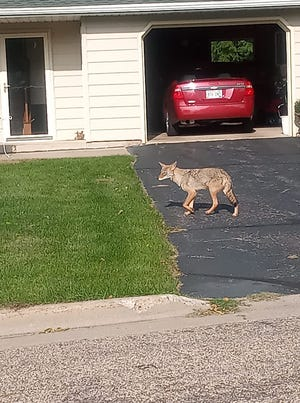 A coyote roaming around 16th Street and Daly Avenue in Wisconsin Rapids Thursday, September 17, 2020.