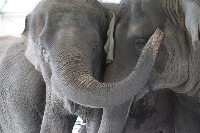 Kelly Ann, 24, and Mable, 14, are among about 30 retired circus elephants that soon will take up residence at White Oak Conservation. The largest elephant herd in the Western Hemisphere, the Asian elephants will live out their days in a 2,500-acre habitat under construction at the nonprofit wildlife sanctuary in Nassau County.