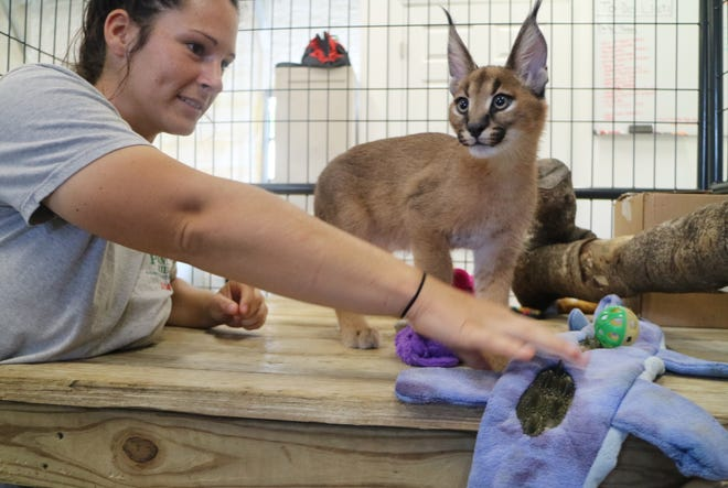 Panther Ridge Conservation Center headkeeper Sadie Ryan plays with a 2-month-caracal kitten at the organization's facility in Loxahatchee Groves on Tuesday. The kitten is the conservation center's newest resident. Panther Ridge is having a raffle to raise money for the kitten's enclosure and support, with the raffle winner naming the caracal. [KRISTINA WEBB/palmbeachpost.com]