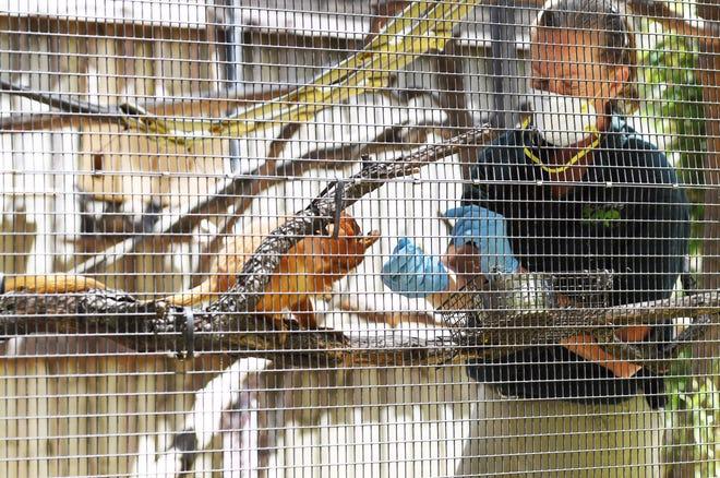 Colleen Mullikin feeds a golden lion tamarin June 11 at Micke Grove Zoo