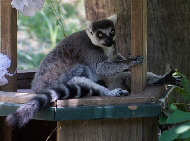 A ring tailed lemur rests in its enclosure during the Micke Grove Zoo's 60th anniversary celebration on Aug. 12, 2017. The zoo will reopen to visitors Thursday.