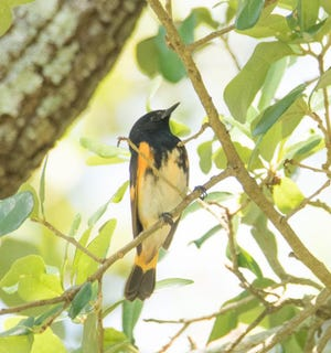 An American Redstart forages for insects at the Lincolnville Community Garden.