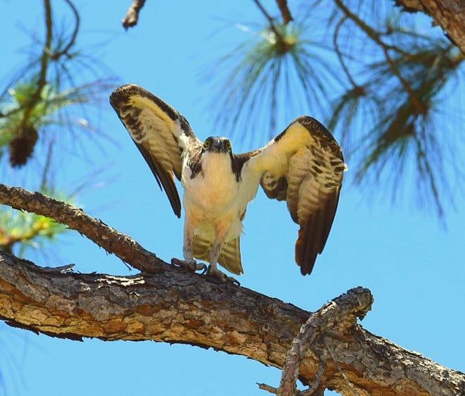 Beautiful osprey takes flight at Marsh Creek.