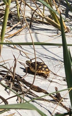 Turtle at Crescent Beach.