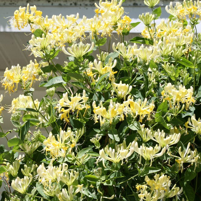 Like the Japanese honeysuckle, Lonicera periclymenum 'Scentsation' is especially fragrant in the evenings. But it is easy to keep in bounds, unlike the rambunctious Japanese vine that has taken over many acres of American woodlands.