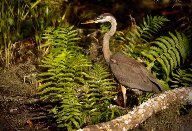 A heron basks in the late afternoon sunlight at Alachua County's Barr Hammock Preserve.