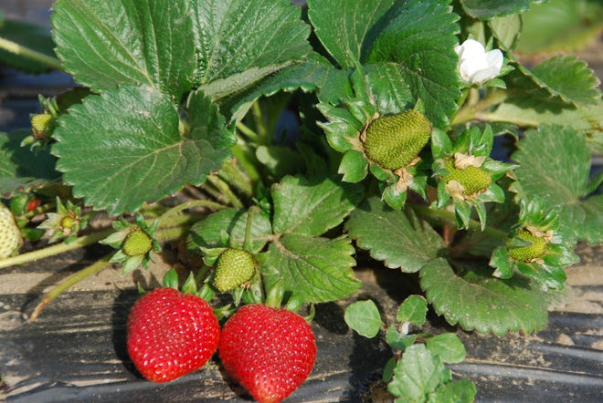 "Almost any strawberry variety gives a satisfactory frozen product. There are numerous strawberry varieties available, but ""Camarosa"" is the No. 1 choice for Alabama."
