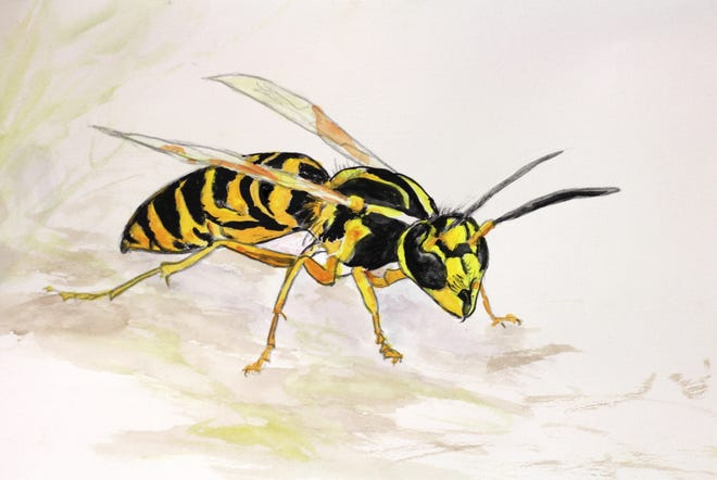 Illustration of a yellow jacket by Elizabeth Ellison.