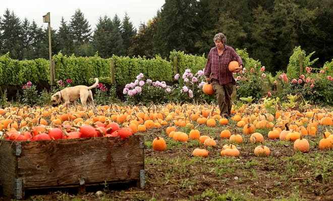 Farmer/owner Karen Selvar grabs a couple of pumpkins from the field as her dog Opie wanders along with her at Suyematsu Farms on Bainbridge Island on Tuesday. Selvar's pumpkin patch opened to the public on Saturday and is open from 10 a.m. to 5 p.m. Masks are required and dogs are not allowed in the fields.
