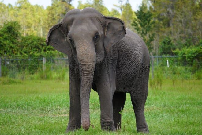 Cora, a 54-year-old Asian elephant, is shown at the former Feld Entertainment Center for Elephant Conservation in Polk City. She is one of 34 remaining elephants, most of which will be moved next year to Northeast Florida.