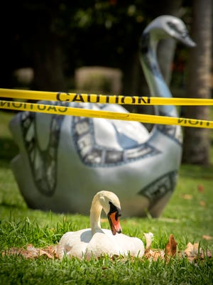 A mute swan makes its nest on the front lawn of the Chamber of Commerce building next to a swan sculpture on Lake Morton in Lakeland. Due to overpopulation of the city's regal birds, plans are being made to sell between 20 to 30 of them following the annual Swan Roundup in October.