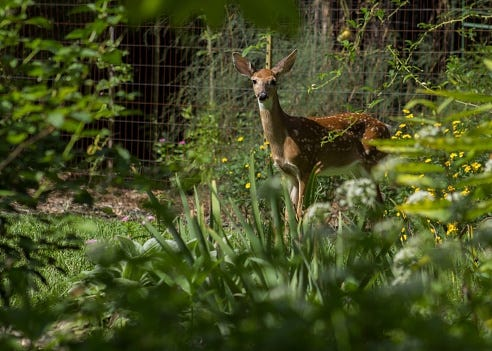 A white-tailed deer fawn takes a break from munching a garden, a common suburban problem.