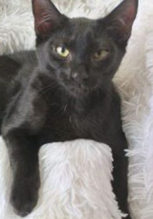 Charles, a baby male domestic short hair, is available for adoption from Wags & Whiskers Pet Rescue. Routine shots are up to date. For information, call 904-797-6039 or go to wwpetrescue.org to see more pets.