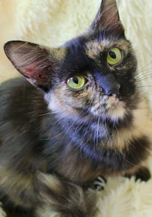 Priscilla, a young female domestic medium hair tortoiseshell, is available for adoption from Wags & Whiskers Pet Rescue. Routine shots are up to date. For information, call 904-797-6039 or go to wwpetrescue.org to see more pets.