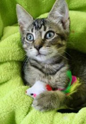 Gabe, a baby male domestic short hair, is available for adoption from Wags & Whiskers Pet Rescue. Routine shots are up to date. For information, call 904-797-6039 or go to wwpetrescue.org to see more pets.