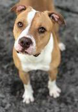Ruby, an adult female boxer, is available for adoption from SAFE Pet Rescue of Northeast Florida. Call 904-325-0196. Vaccinations are up to date.