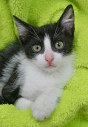 Debbie, a baby female domestic short hair, is available for adoption from Wags & Whiskers Pet Rescue. Routine shots are up to date. For information, call 904-797-6039 or go to wwpetrescue.org to see more pets.