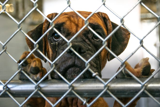 A rescued boxer looks out from its kennel at the Craven-Pamlico Animal Shelter. [Bill Hand / Sun Journal Staff]