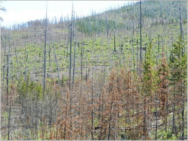 Unbroken stands of dead lodgepole pine with numerous dead logs on the ground create potentially dangerous fire conditions