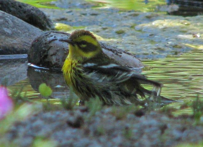 A Townsend's warbler splashes away in a shallow birdbath.