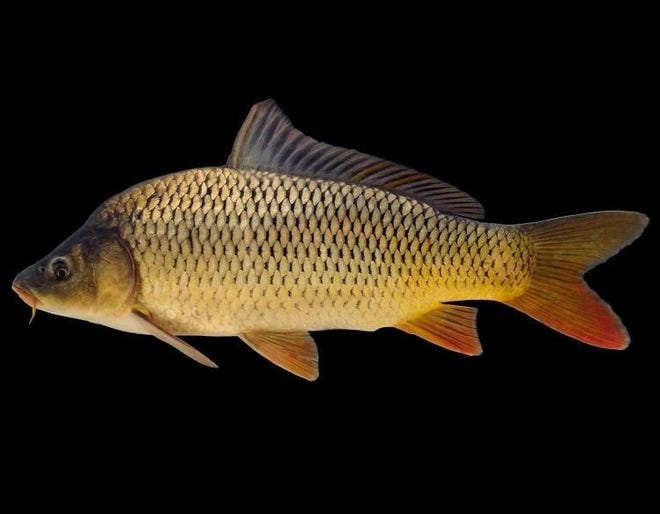 The Wildlife Code of Missouri now lists common carp (pictured), grass carp, bighead carp and silver carp as invasive, meaning the fish are no longer allowed to be used as live bait.