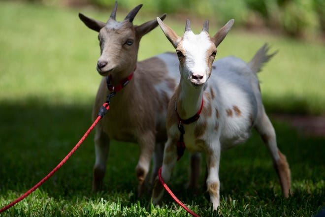 A herd of four goats visited the Governor's Mansion during a demonstration facilitated by Santa Rosa Beach attorney Daniel Uhlfelder in protest of the herd immunity approach to COVID-19 and Gov. Ron DeSantis' handling of the pandemic Wednesday, Sept. 23, 2020.