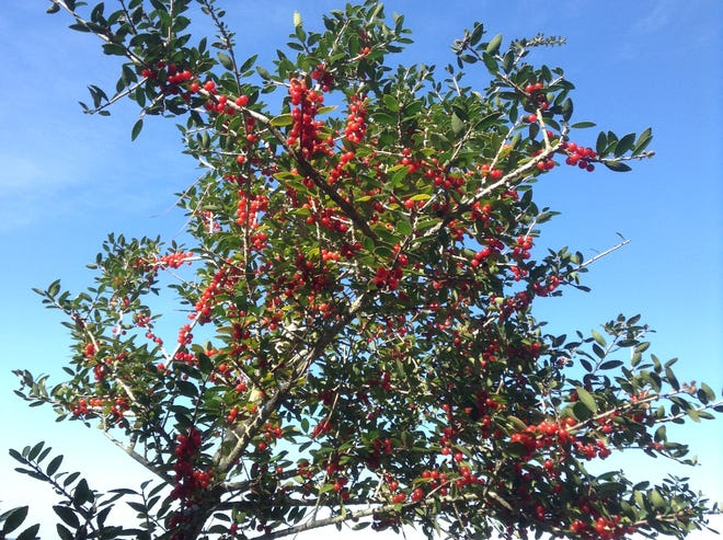Since it is salt tolerant, yaupon holly can even tolerate being planted along the seashore.
