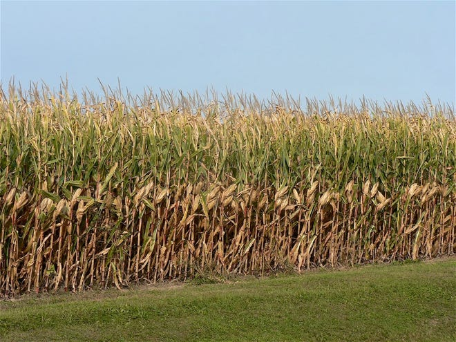 The corn crop will soon be ready for harvest.