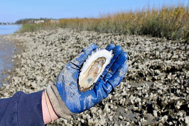 The eastern oyster plays a critical role in providing clean water, fish and crab habitat, and storm protection in coastal South Carolina, as well as a tasty, sustainable seafood.