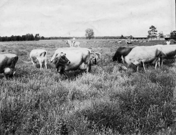 Boys ranching cattle at the Florida Industrial School for Boys in Marianna, Florida.