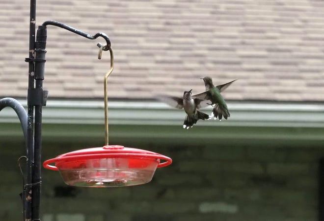 Hummingbirds spar over nectar in Whitewater.