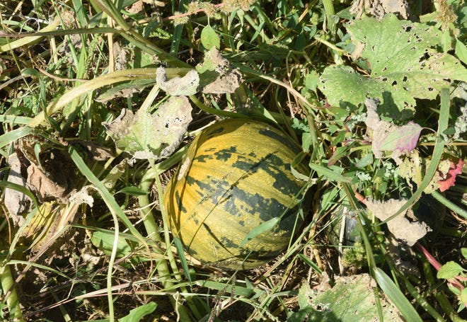A pumpkin that has yet to be harvested sits in the field at Pluck Flower Farm Thursday, Sept. 24, 2020, in Milaca.