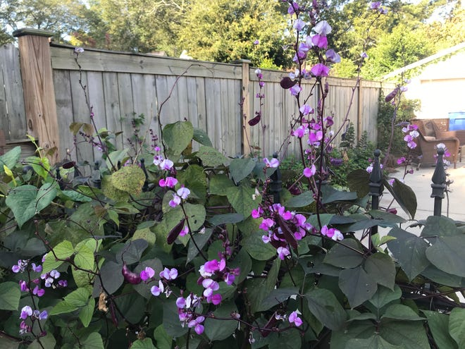 Hyacinth bean is a vine that is widely grown in cultivation as an ornamental.